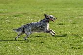 picture of english setter  - Cute blue belton English Setter dog is running fast cross on a spring flowering meadow - JPG