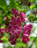 stock photo of locust  - Bright pink Idaho Locust blossoms appear during May - JPG