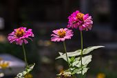 pic of zinnias  - Close up of pink zinnia (Zinnia violacae Cav.) flower