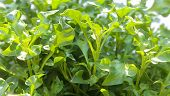 picture of nasturtium  - Group of fresh watercress  - JPG