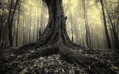 picture of ethereal  - Old tree with big roots in dark forest with fog - JPG