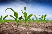 image of early spring  - Young green corn in agricultural field in early spring selective focus - JPG