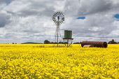 picture of silo  - Canola fields shine on a stormy day inbetween Smeaton and Clunes in the Victorian goldfields - JPG