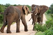 pic of male-domination  - Two male African elephants trying assert their dominance - JPG