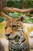 pic of ocelot  - closeup portrait of beautiful jaguar outdoors park zoo - JPG