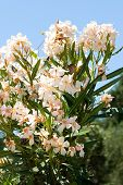 foto of oleander  - Beautiful Light orange oleander flower - JPG