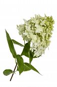 stock photo of hydrangea  - Flowers of hydrangeas paniculata lat - JPG