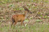 image of blacktail  - Barking deer also called fea - JPG