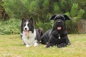 picture of schnauzer  - Border Collie and Big Black Schnauzer Dog outdoors