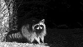 stock photo of beside  - black and white raccoon racoon standing beside a tree - JPG
