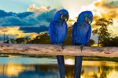picture of hydroelectric  - Blue Macaw in Pantanal - JPG