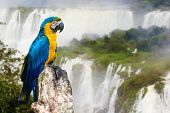 stock photo of bird paradise  - Blue and Yellow Macaw in Iguazu Falls - JPG