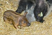 stock photo of farrow  - Hungarian swallowbellied Mangalitsa pig and piglet in a pen