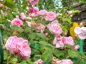 picture of garden eden  - Bright pink roses with fresh green leaves in the garden - JPG