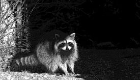 picture of raccoon  - black and white raccoon racoon standing beside a tree - JPG