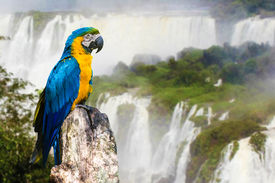 stock photo of cataracts  - Blue and Yellow Macaw in Iguazu Falls - JPG