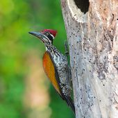 picture of greater  - Greater Flameback  - JPG