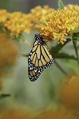 stock photo of monarch  - A newly emerged Monarch Butterfly (Danaus plexippus) dries it wings on Butterfly Milkweed Plant (Asclepias tuberosa)