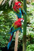 stock photo of green-winged macaw  - Two red macaw parrots in their natural habitat the green jungle