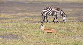 stock photo of antelope horn  - antelopes and zebra on a background of grass - JPG