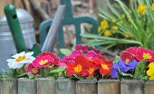 stock photo of primrose  - wooden border with colorful primroses  and gardening tools  - JPG