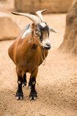 stock photo of husbandry  - A pygmy goat stands in her dusty sandy pen on a farm - JPG