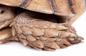 image of spurs  - African Spurred Tortoise - JPG