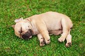 picture of little puppy  - little sleeping French bulldog puppie lying on a beautiful green grass - JPG
