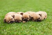 image of french bulldog puppy  - little sleeping French bulldog puppies lying on a beautiful green grass - JPG