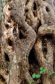 stock photo of elm  - Bark of Elm - JPG