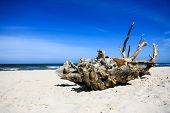 stock photo of driftwood  - Extremely large piece of driftwood on the sandy beach at Baltic Sea - JPG