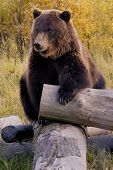 foto of grizzly bear  - Bear in the Wild  - JPG