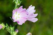 picture of hollyhock  - Closeup of pink Hollyhock flowers on green meadow - JPG