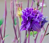 picture of columbine  - Side view of a charming double Columbine flower - JPG