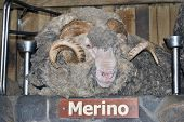stock photo of ram  - Merino sheep ram head with horns on display with identification name board - JPG