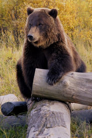 image of grizzly bear  - Bear in the Wild