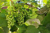 image of grape  - Bunch of green unripe grapes - JPG