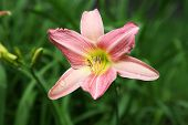 stock photo of raindrops  - Pink day lily with yellow center in full bloom with raindrops on the petals - JPG