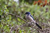 image of blue jay  - Close up of a Western Scrub Jay perched on a branch - JPG