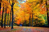 stock photo of fall trees  - fall foliage in state forest in connecticut usa