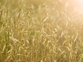 picture of dry grass  - Field with yellow dry grass at sunset - JPG