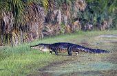 picture of alligators  - A large alligator crosses a grassy path in Lake Woodruff park in Deland Florida - JPG