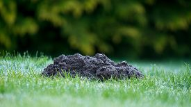 image of mole  - Two Mole mounds in the garden taken from a low position of view - JPG