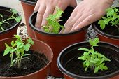 stock photo of tomato plant  - Planting tomato seedlings in pots - JPG