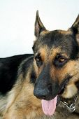 pic of german-sheperd  - a handsome german shepherd - JPG