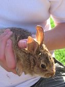 pic of choctaw  - An eastern cottontail caught in Choctaw Oklahoma and released after the photograph - JPG