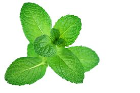 pic of mint leaf  - Fresh mint leaves isolated on white - JPG