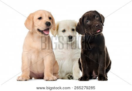 poster of Groups of dogs, Labrador puppies, Puppy chocolate Labrador Retriever, in front of white background