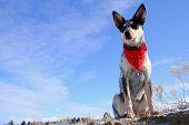 picture of blue heeler  - Blue Heeler puppy sporting a red bandana - JPG