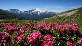 The Kamchatka Rhododendron (rhododendron Camtschaticum). Spring Flowers Of Kamchatka. Flowers And La poster